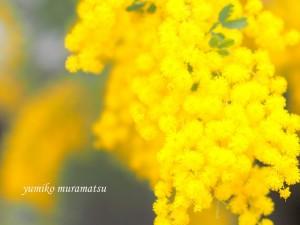 20140317 お花 ミモザ2